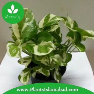 Money Variegated Plants