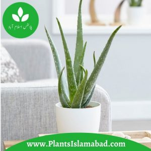Aloe Vera Plants In Pakistan