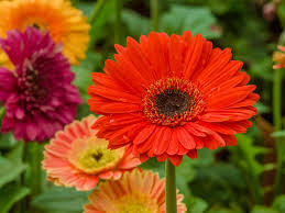 Barberton Daisy Plants for sale in Islamabad, Rawalpindi, Karachi, Lahore