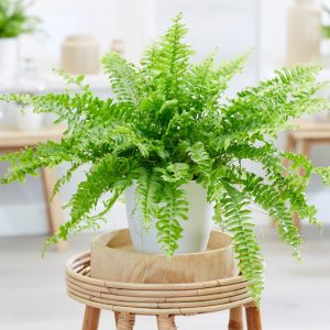 Boston Fern Plants in Islamabad Rawalpindi Karachi Lahore