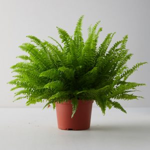 Boston Fern Plants in Islamabad Rawalpindi Karachi Lahore for sale