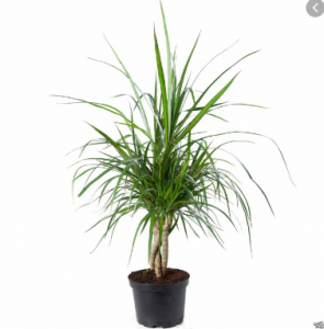 Braided Dracaena for sale in Islamabad