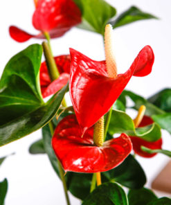 Buy Anthurium or Flamingo Lily Online in Lahore Islamabad Karachi and Pakistan