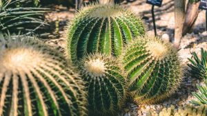 Cactus Plants in Islamabad