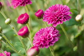 Chrysanthemum Plants for in Islamabad Rawalpindi Karachi Lahore