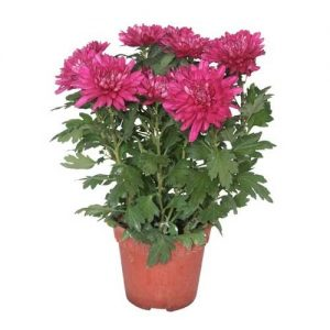 Chrysanthemum Plants images in Islamabad Rawalpindi Karachi Lahore
