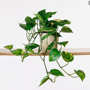 Devil's Ivy Plants in Islamabad Rawalpindi Karachi Lahore for sale