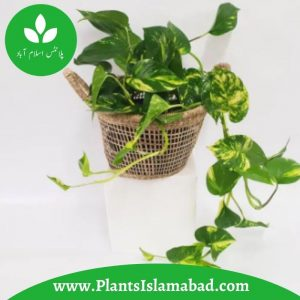 Devil's Ivy Pothos in Pakistan