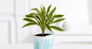 Dracaena Plants for in Islamabad Rawalpindi Karachi Lahore