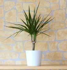 Dragon Tree Plants in Islamabad Rawalpindi Karachi Lahore for sale