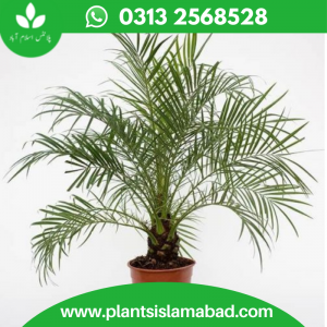 Dwarf Date Palm in Pakistan