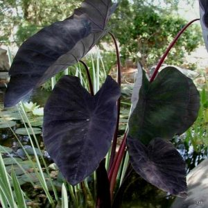 Elephant Ear Plants for sale in Islamabad image