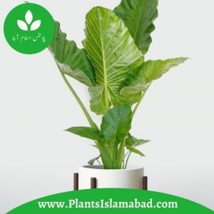 Elephant Ear Plants in Pakistan