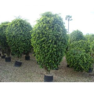 Ficus Plants for in Islamabad Rawalpindi Karachi Lahore
