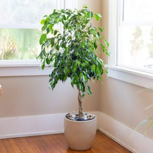 Ficus Plants in Islamabad Rawalpindi Karachi Lahore for sale