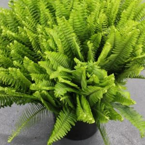 Fish Fern Plants for sale in Islamabad