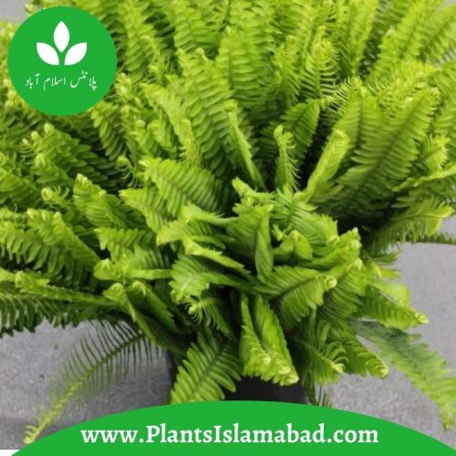 Fish Fern Plants in Pakistan