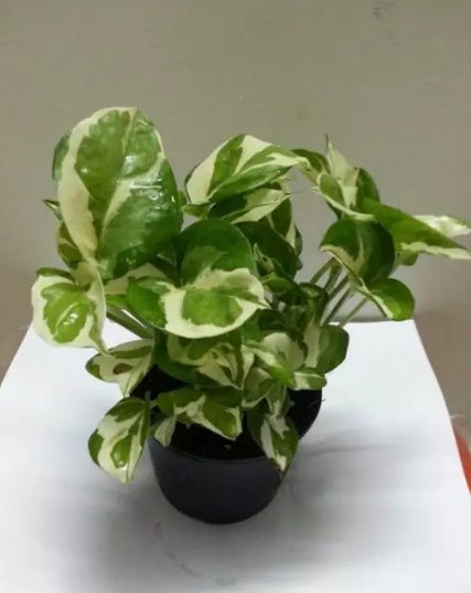 Money Variegated Plants in Islamabad
