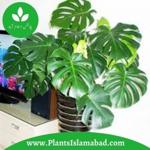 Monstera Deliciosa Indoor Plants in Pakistan