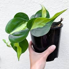 Philodendron for in Islamabad Lahore Karachi Rawalpindi