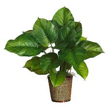 Philodendron in Islamabad Lahore Karachi Rawalpindi for sale
