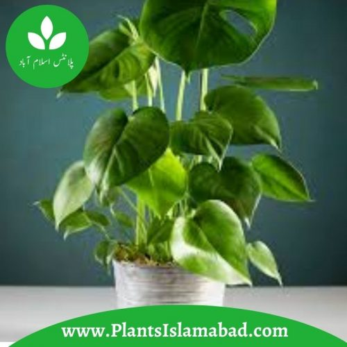 Philodendron indoor plant pakistan