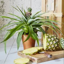 Pineapple Plants in Islamabad Lahore Karachi Rawalpindi for sale