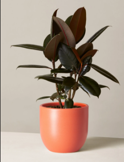 Rubber Plants for in Islamabad Lahore Karachi Rawalpindi