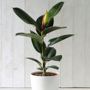Rubber Plants in Islamabad Lahore Karachi Rawalpindi for sale