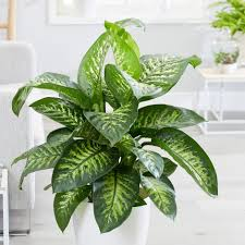 dumb cane plants in Islamabad, Pakistan