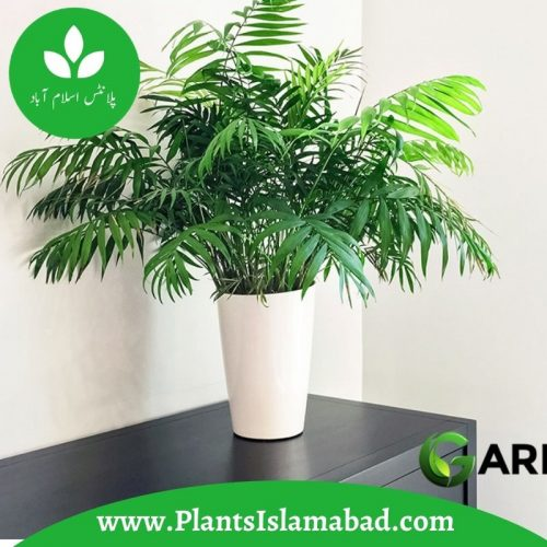 Parlour Palm in Islamabad