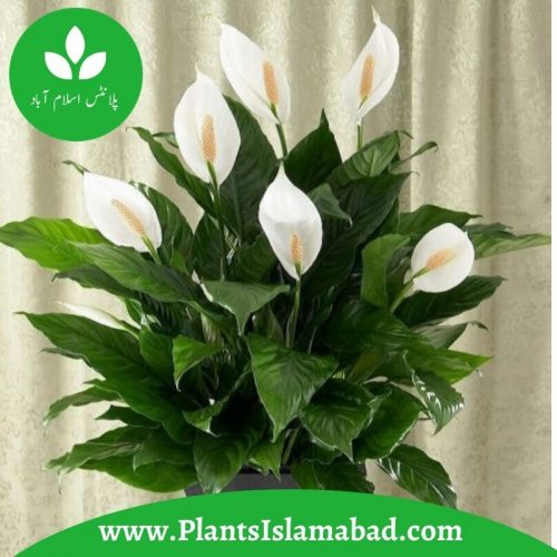 peace lily indoor plants pakistan