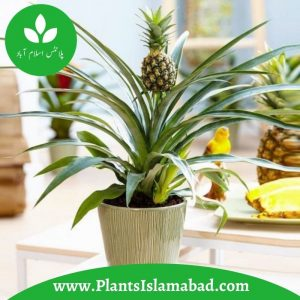 Pin Apple Indoor Plants in Pakistan
