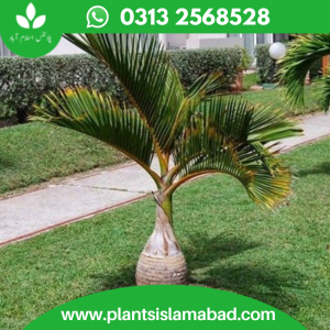 Bottle Palm (Royal Palm)