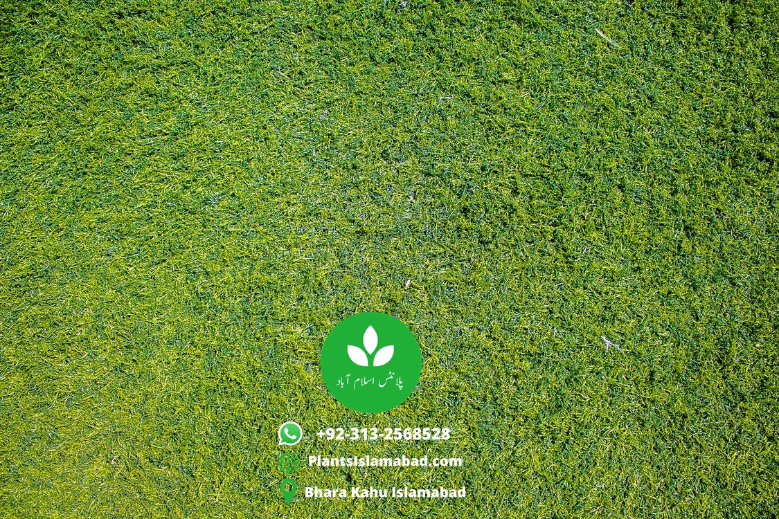 american grass in Pakistan and american grass price  in Pakistan