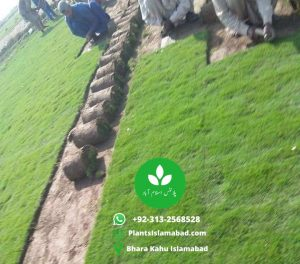 Buy Koren Grass in Pakistan Lahore Islamabad Rawalpindi Karachi Gujrawanalla photo
