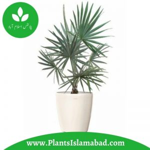 bismarckia palm plant indoor plants Pakistan
