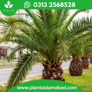 Date Palm in Pakistan