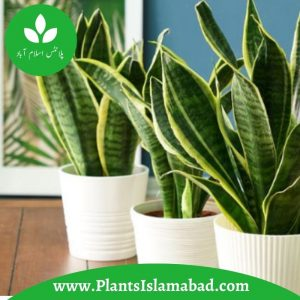 Snake Plants in Pakistan
