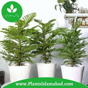 Araucaria Plant Indoor PLants in Pakistan