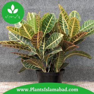 Croton Indoor Plants in Pakistan