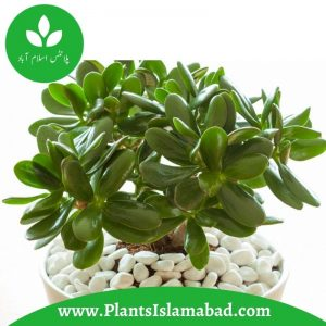 Jade Plants indoor plants Pakistan