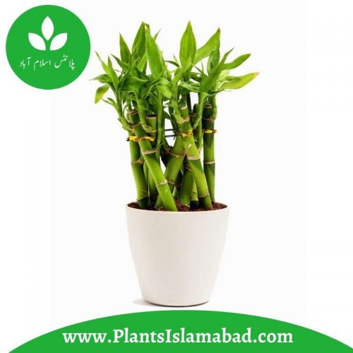 Lucky Bamboo Plants in Pakistan