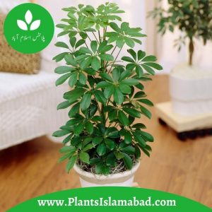 Schefflera Nora Dwarf Umbrella indoor plants Pakistan