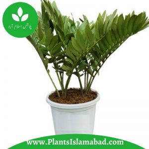 Zambia Palm Indoor Plants in Pakistan , Islamabad, Rawalpindi, Karachi, Lahore